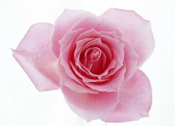 Cool Pink Rose