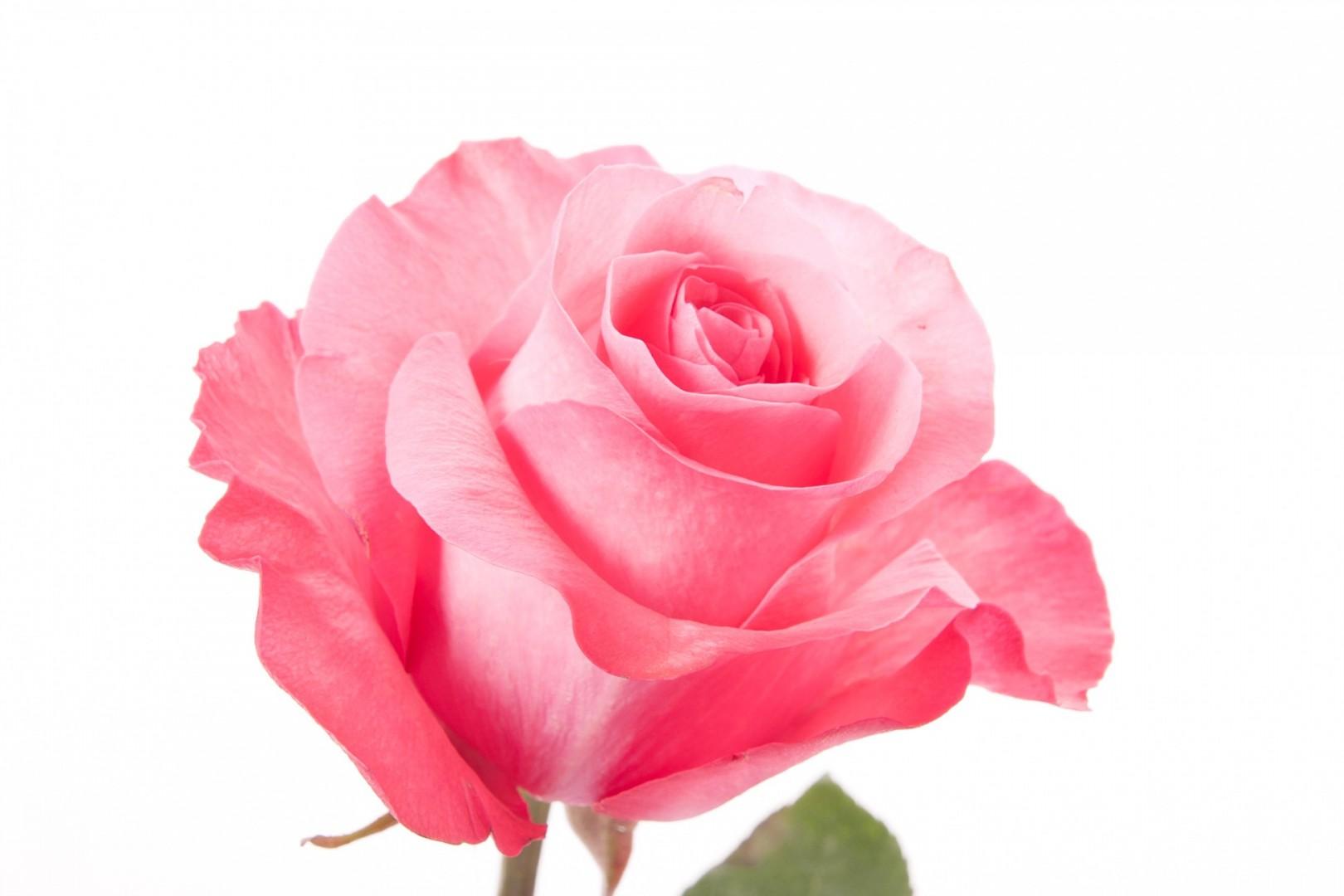 Download Natural Pink Rose 1944x1296
