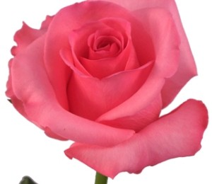 Nice Pink Rose