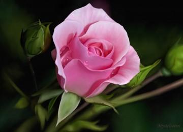 Widescreen Pink Rose