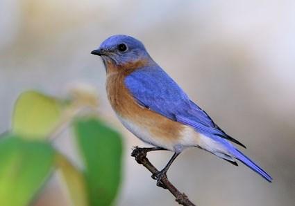 Free Blue Bird Picture