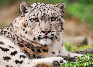 Free White Leopard