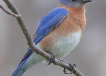 HD Blue Bird Picture