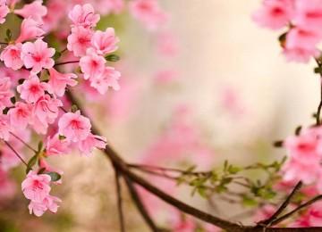 Pink Spring Wallpaper