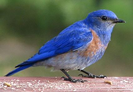 Western Blue Bird Picture