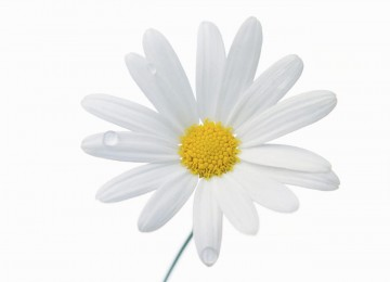 Hd White Flower