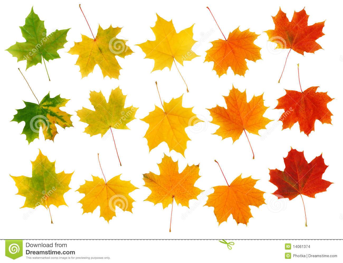 Nice Maple Leaves