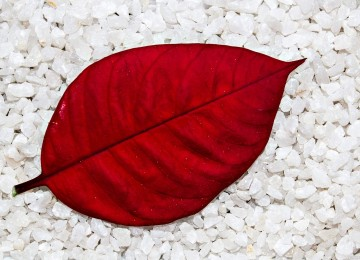 Nice Red Leaf