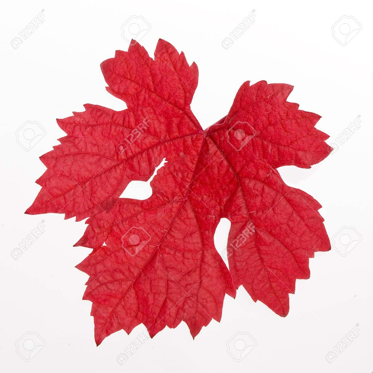 Stunning Red Leaf