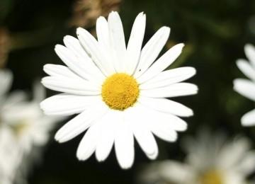 Widescreen White Flower