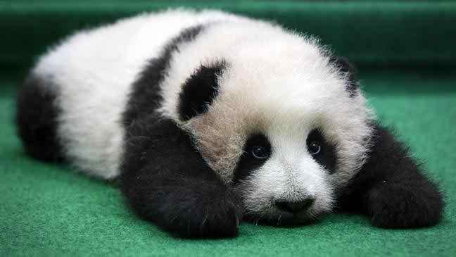 Best Baby Panda
