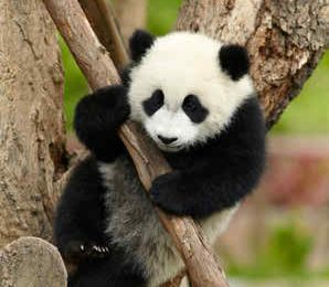 Nice Baby Panda