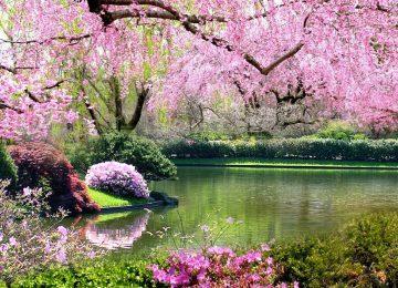 Pink Tree Spring Time