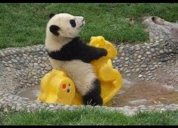 Stunning Baby Panda
