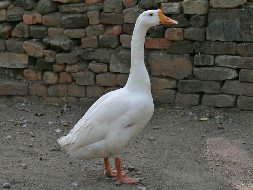 Goose 1066x800