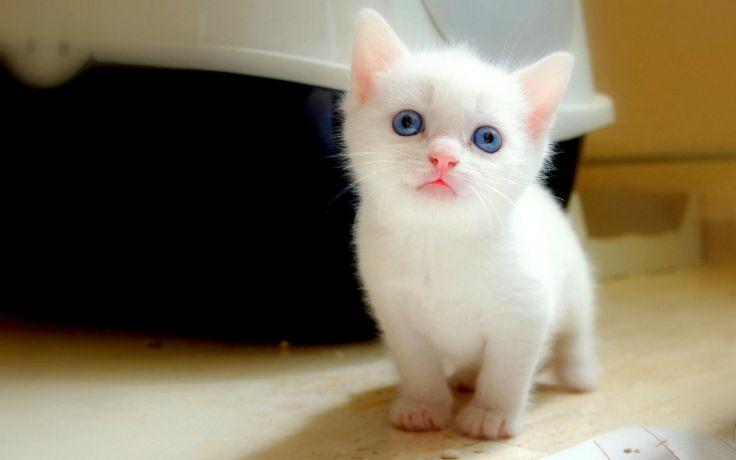 Feline Kitten Baby