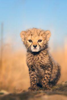 Free Baby Cheetah