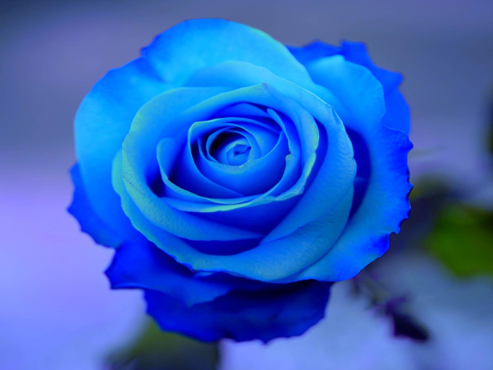 Nice Blue Rose
