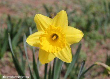 Nice Daffodil Flower