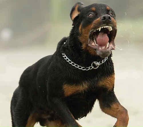Animal Rottweiler