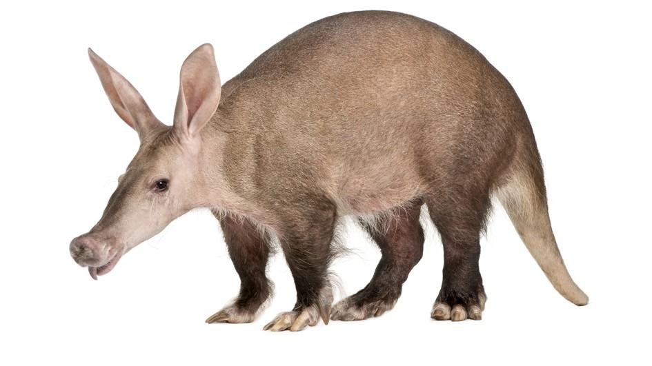 Aardvark Tongue Image