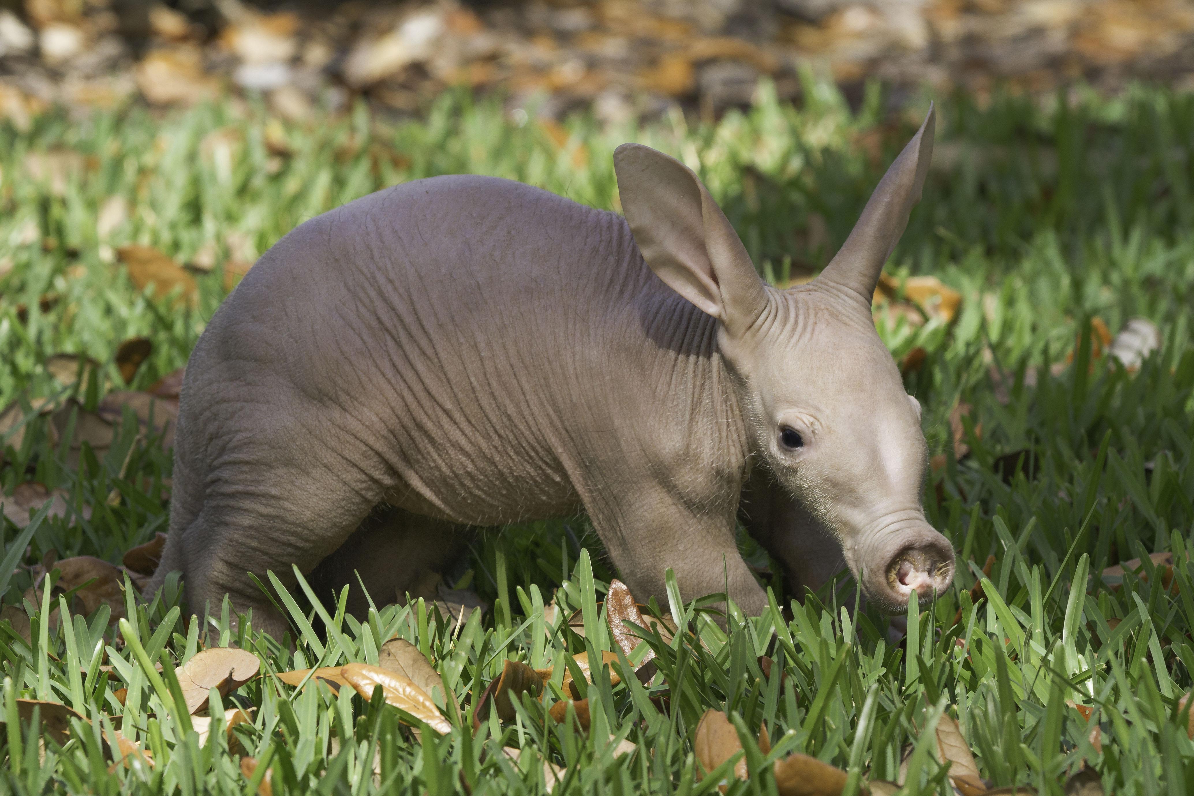 African Aardvark