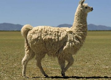 Animal Llama