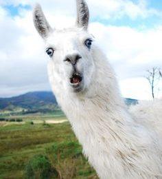 Awesome Llama