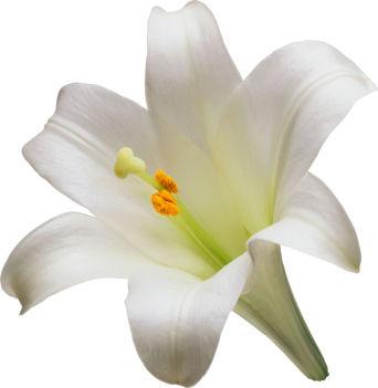 Beautiful White Lily