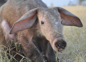 Best Aardvark