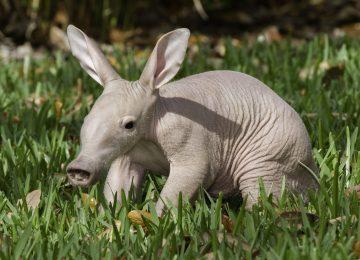 Nice Aardvark