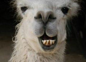 Smiling Llama