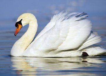 Animal White Swan