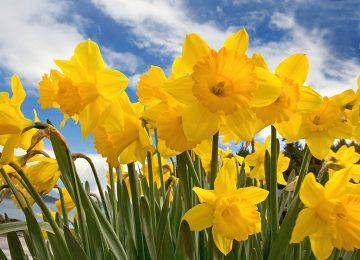 Best Daffodil