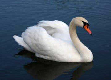 Best White Swan