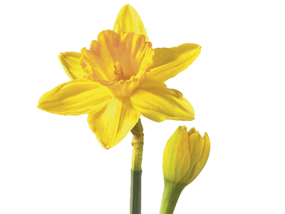 HD Daffodil