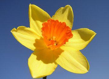 Natural Daffodil