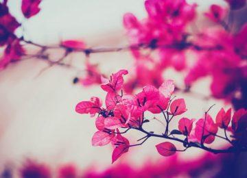 Pink Rose Lovely