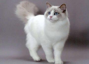 White Ragdoll