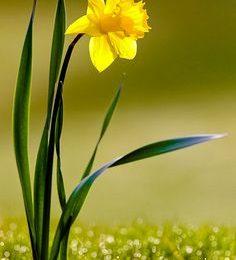 Widescreen Daffodil
