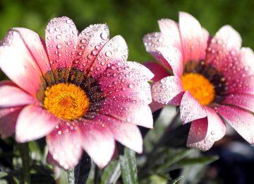 Origional HD Flower