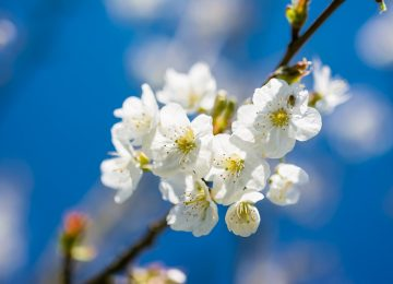 Cherry Spring Flower