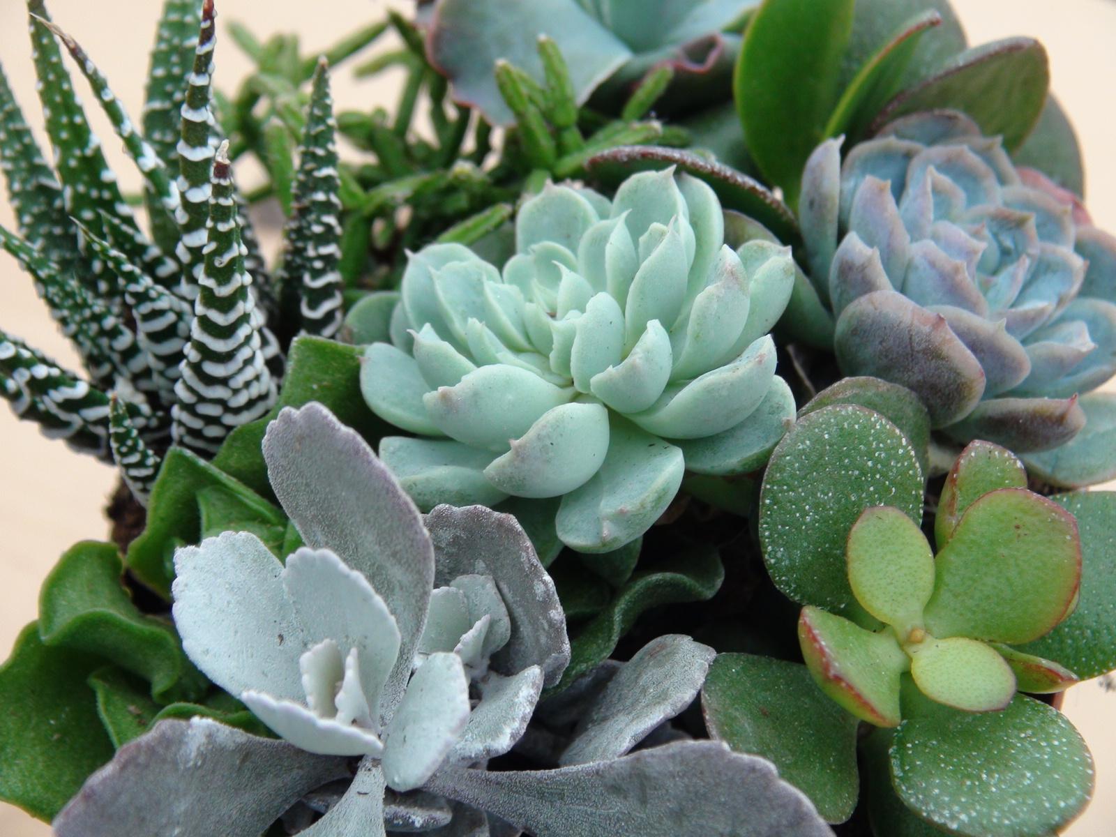 Natural Succulent Plant