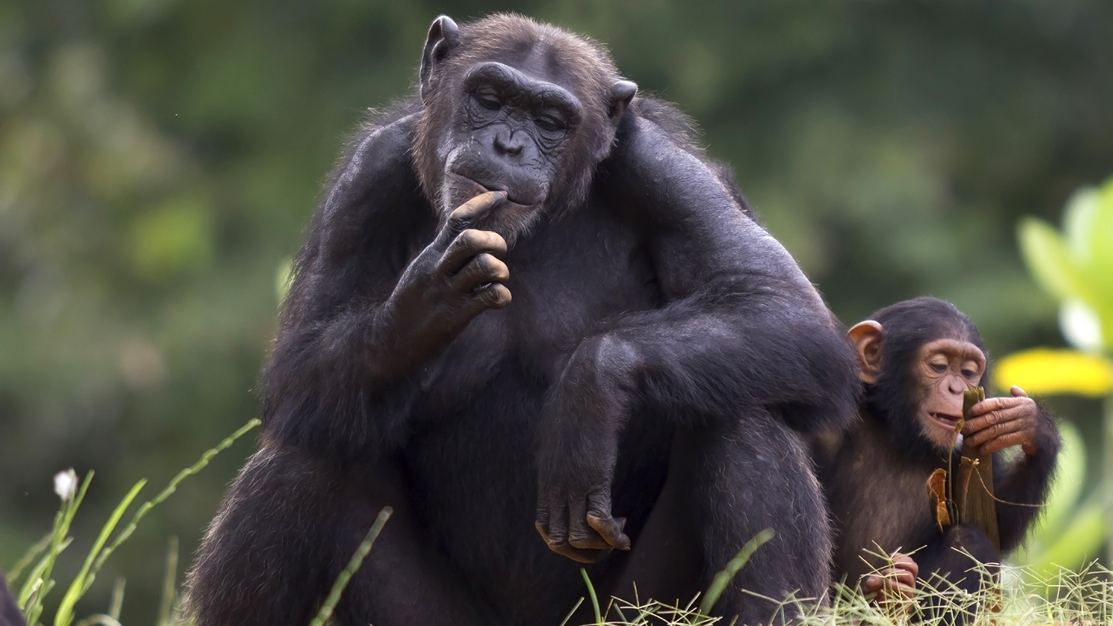 Black Chimpanzee Image