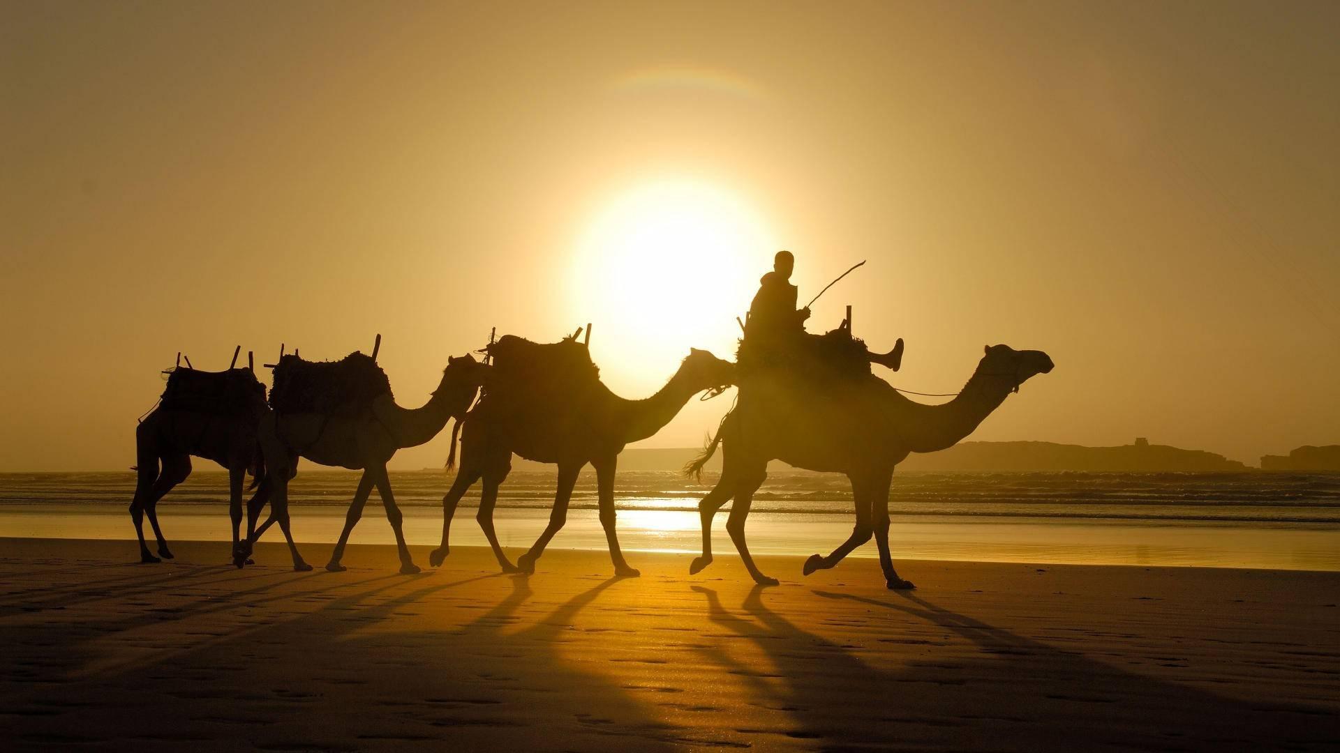 Cool Camel Wallpaper
