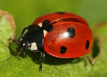 Cool Ladybird