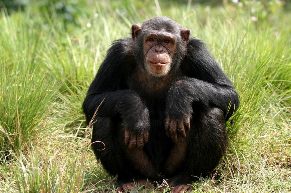 Cute Chimpanzee Image