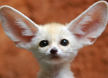 Cute Fennec