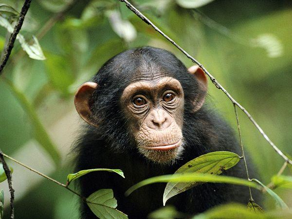 Free Chimpanzee Image