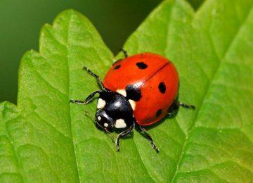 Natural Ladybird